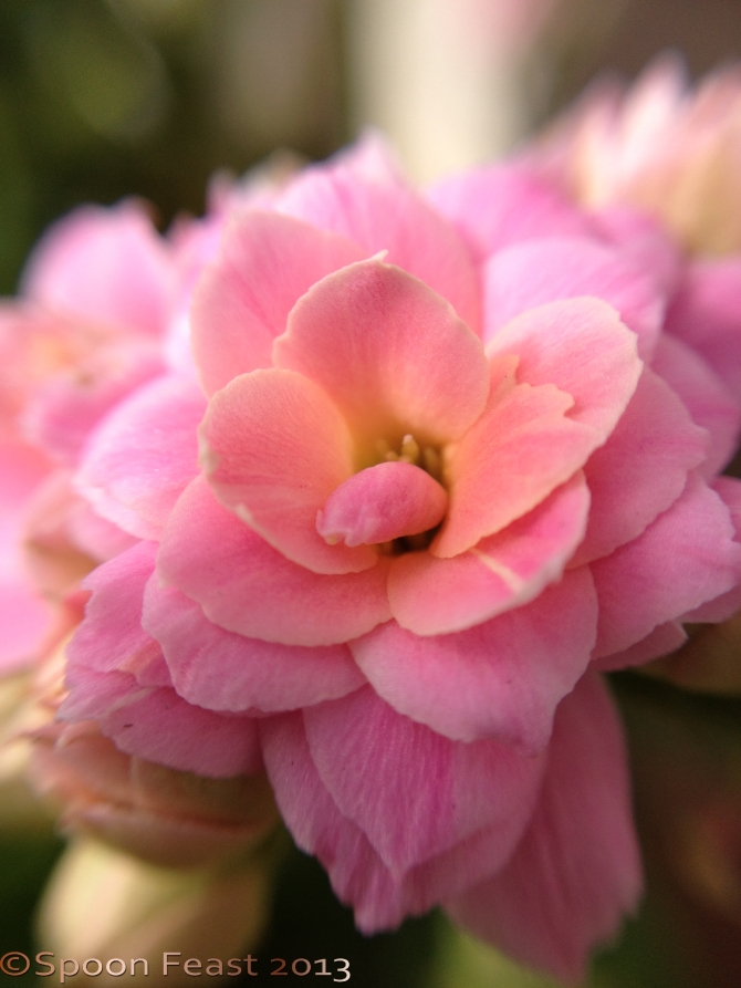 Succulent flower;  i-phone macro lens